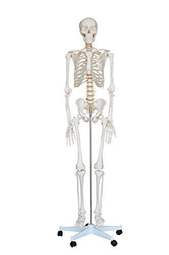 QuotMr Hanksquot Human Anatomy Skeleton Life Full Size Model 6 Ft