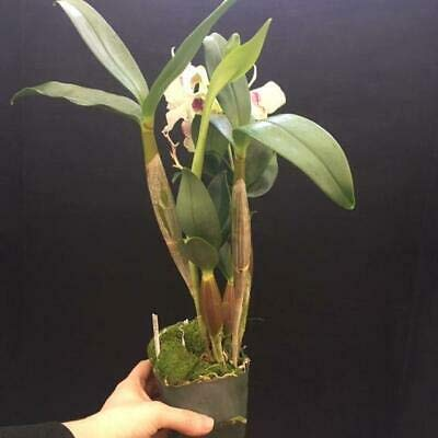 1 Dendrobium Royal Wings Latouria Orchid White Blooms Plant Beauty Fresh NHKM43