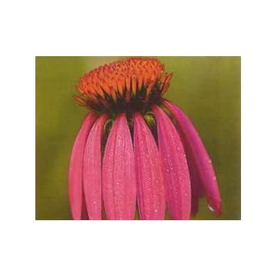 HOT - 100 Black Samson Echinacea Angustifolia Seeds : Garden & Outdoor
