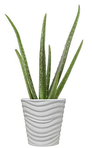 Costa Farms Aloe Vera Live Indoor House Plant