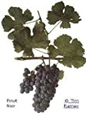 Grape Vines Wine Pinot Noir Classic red Burgundy - 1-Year-Old Bare Root Grapevine (6)