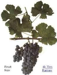 Pinot Grape - Grape Vines Wine Pinot Noir Classic red Burgundy - 1-Year-Old Bare Root Grapevine (2)