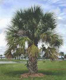 amazon com 10 sabal palm tree cabbage palmetto seeds tree plants
