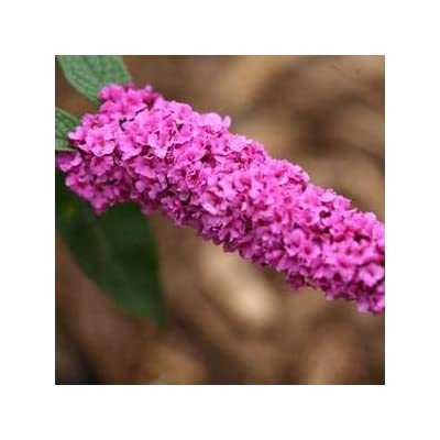 Buddleia-Lo-and-Behold-Pink-Micro-Chip - QT Pot (Shrub) : Garden & Outdoor