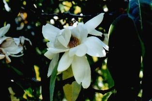 Pack of 1, 25 Lbs. Fragrance Oil Magnolia Scent