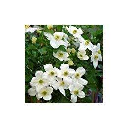 CLEMATIS CHRISTINE-Superb Birthday, Personalised Plant & Flower Gifts, Mum,Mom,Women,Her Giftaplant Ref: CLECHR3