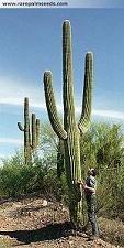 Riesen Kaktus , Carnegiea gigantea Saguaro 15 Samen **Fruchtbildung**