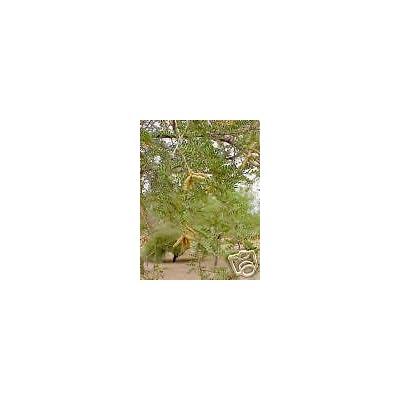 Prosopis pubescens SCREW BEAN MESQUITE TREE Seeds! : Garden & Outdoor