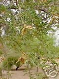 Prosopis pubescens SCREW BEAN MESQUITE TREE ()