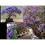 Bolusanthus Speciosus - Tree Wisteria - Rare Tropical Plant Tree Seeds