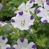 Nemophila - Maculata, Five Spot - 500 Seeds
