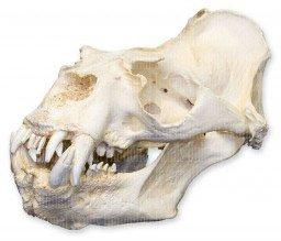 - Southern Sea Lion Skull (Male) (Teaching Quality Replica)