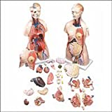 Male Female Professional Anatomical Torso Model