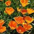 The Dirty Gardener California Poppy Wildflowers