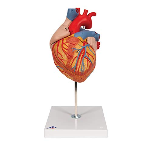 3B Scientific G12 4 Part Heart Model, 2-Times Life Size, 12.6