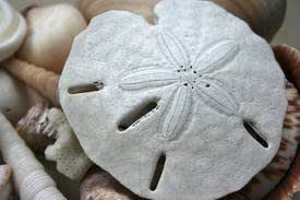 "Hinterland Trading Sanddollar Real Arrowhead Sand Dollars Great for Wedding Favors or Placecards Crafting and Collecting Three 3"" Sandollars"