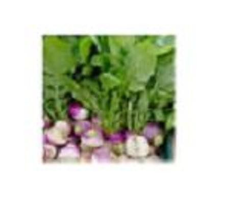 The Dirty Gardener Heirloom Purple Top Turnips - 20 Pounds