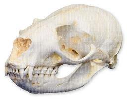 California Sea Lion Skull Female Teaching Quality