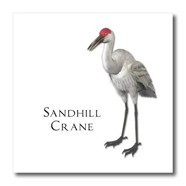 3dRose ht_51595_1 Sandhill Crane Shorebird-Iron on Heat Transfer Paper for White Material, 8 by 8-Inch ()