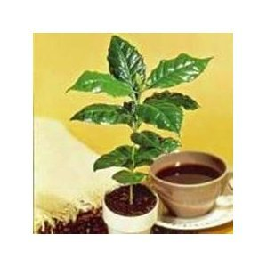 Seeds and Things Kona Coffee Bean 15 Tree Seeds -Coffea-Gourmet-Tropical
