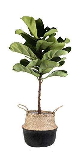 Price comparison product image Costa Farms Live Ficus Lyrata,  Fiddle-Leaf Fig,  Indoor Tree,  4-Feet Tall,  Ships in Seagrass Basket,  Black-Natural,  Fresh From Our Farm