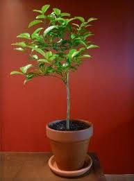1-2 Year Old Key Lime Tree in Grower's Pot