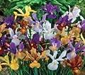 (10) Spectacular Flowering Border Perennial Flowers, Iris Rock Garden Mixture, Bulbs