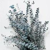 Preserved Eucalyptus Branches - Blue (Silk Eucalyptus)