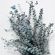 Preserved Eucalyptus Branches - Blue by DriedDecor.com