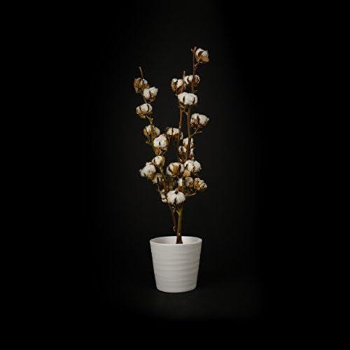 Inter Flower 3 auténtico Ramas Algodón 8-10 Flores disecadas, 70 75cm muy vida útil larga, natural de bueno adecuado como decoración, Florística, para manualidades/Como popular fair trade alta calidad: Amazon.es: Jardín