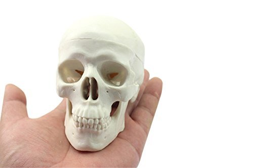 Zgood Mini Human Medical Anatomical Head Bone Skull Bone Model by ZGood