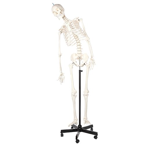 Axis Scientific Life Size Flexible Skeleton Anatomy Model