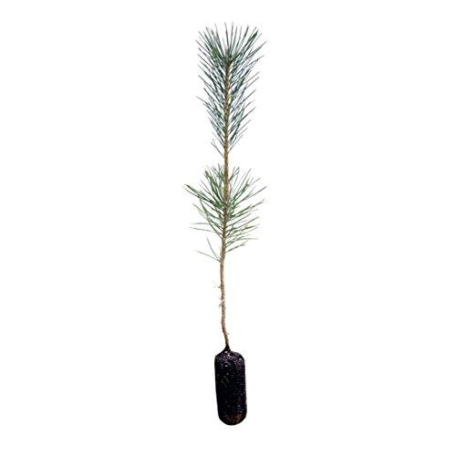 Cheap Japanese Black Pine | Live Tree Seedling (Medium) | The Jonsteen Company hot sale