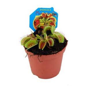 Dionaea, Venusfliegenfalle
