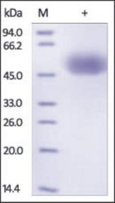 96-693 - Size : 0.1 mg - SIRP Alpha Recombinant Protein, His Tag, ProSci - Each (100micrograms)