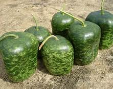 15 - Large Apple Gourd Seeds - Non-Gmo - Combined Shipping