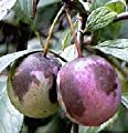 American Plum TWO Trees 2-3'
