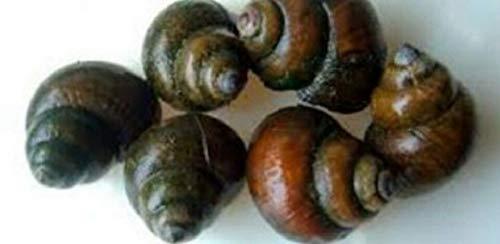HOT! 10 Large Japanese Trapdoor Snails (Snails Trap Door)