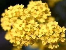 Alyssum Basket of Gold 50 Fresh Flower Seeds Free USA Shipping