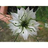 500 WHITE LOVE IN A MIST (Fennel Flower) Nigella Damascena Flower Seeds