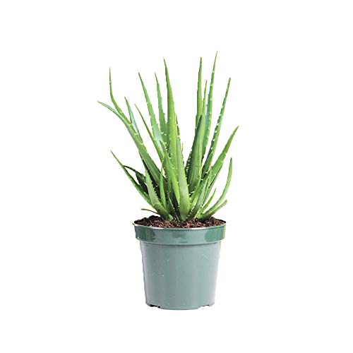 (AMERICAN PLANT EXCHANGE Aloe Hedgehog Live Plant, 6