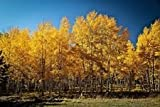 100 Quaking Aspen Tree Seeds - Populus tremuloides Bonsai USA - BKSeeds