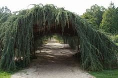 Weeping Blue Atlas Cedar 3 - Year Live Tree by Japanese Maples and Evergreens (Image #5)