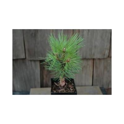 Mikawa Japanese Black Pine 2 - Year Seedling: Toys & Games