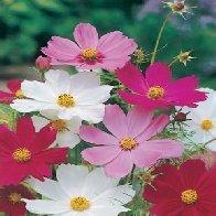 Cosmos Sensation mixed - Annual Garden flower 150 seeds