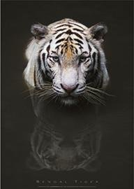 Posters: Big Cats Poster - Bengal Tiger
