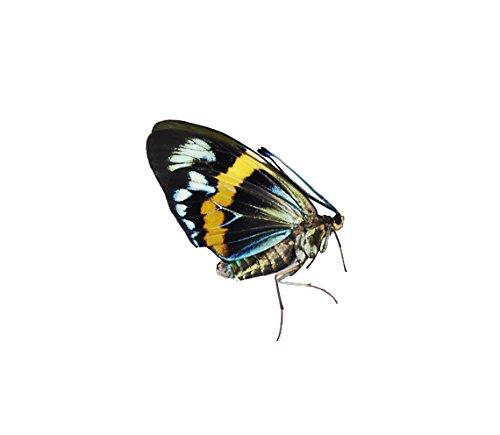 Eterusia repleta Moth Male Specimen