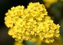 The Dirty Gardener Yellow Alyssum Saxatile Golden Tuft Flowers, 100 Seeds