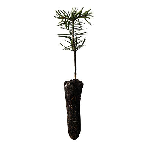 Nordmann Fir | Small Tree Seedling | The Jonsteen ()