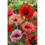 ORIENTAL POPPY-Red and Pink Mix
